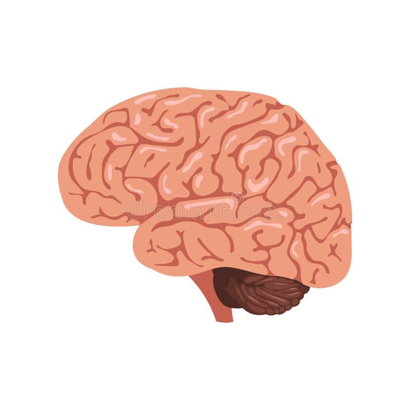 Icono de la anatomía del cerebro ilustración del vector