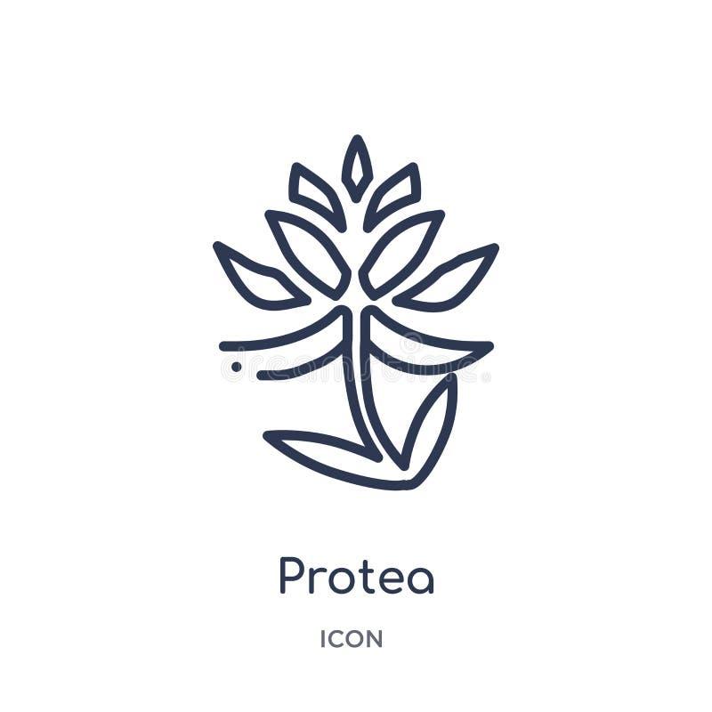 Icono del Protea de la colección del esquema de la naturaleza Línea fina icono del protea aislado en el fondo blanco stock de ilustración