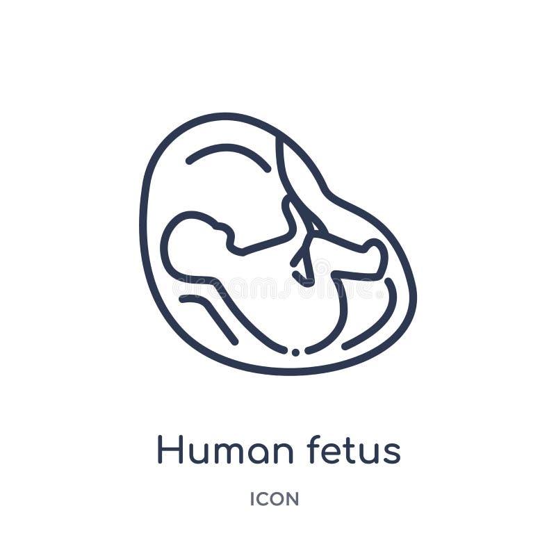 Icono humano linear del feto de la colección humana del esquema de las partes del cuerpo Línea fina icono humano del feto aislado stock de ilustración