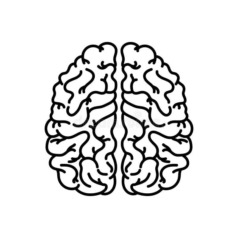 Icono linear del cerebro humano L?nea ejemplo fina ?rgano del sistema nervioso S?mbolo del contorno Dibujo de esquema aislado vec stock de ilustración