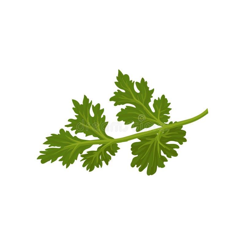 Icono plano del vector del cilantro verde fresco Condimento natural Hierba anual usada en cocinar Ingrediente para condimentar stock de ilustración