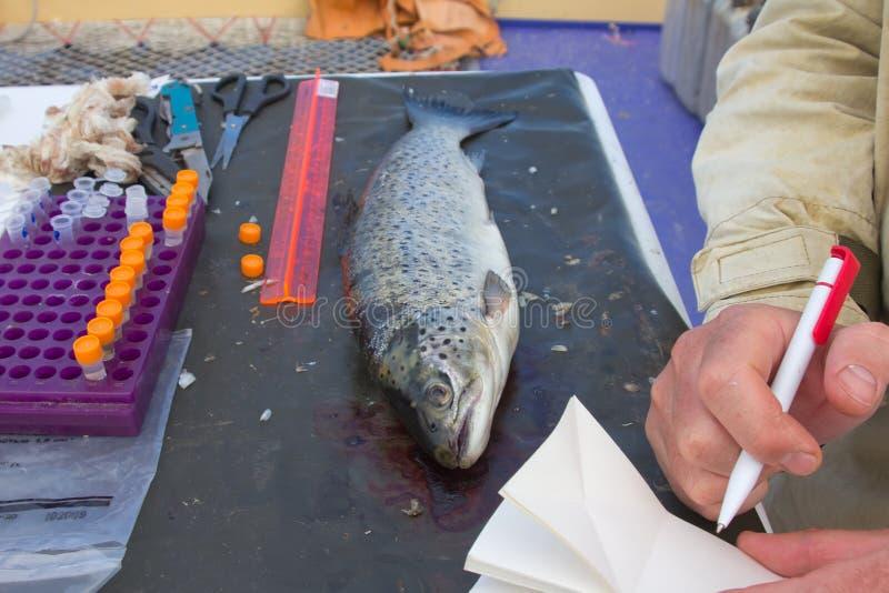 Ictiología de un salmón fotos de archivo