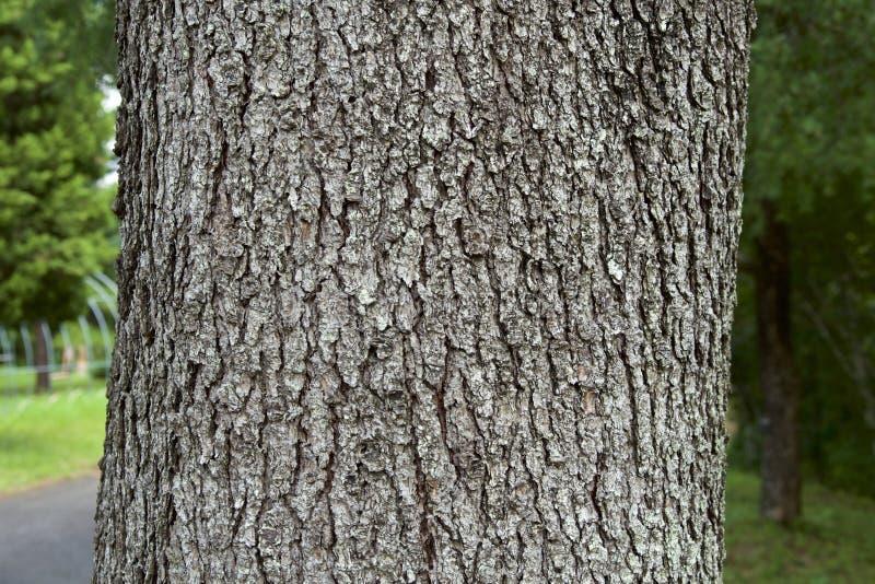 Cedar wood bark royalty free stock photo