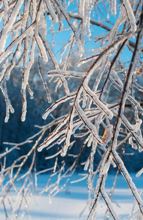 Icy branches in the winter forest royalty free stock image