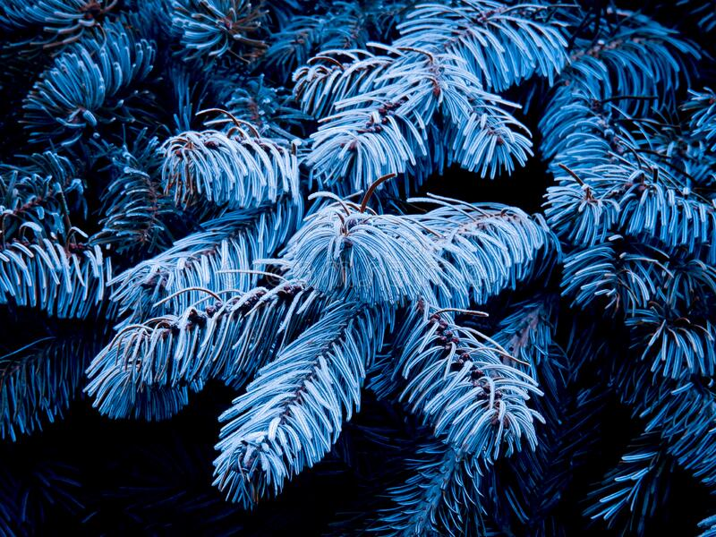 Icy fir tree branches. In winter royalty free stock photography