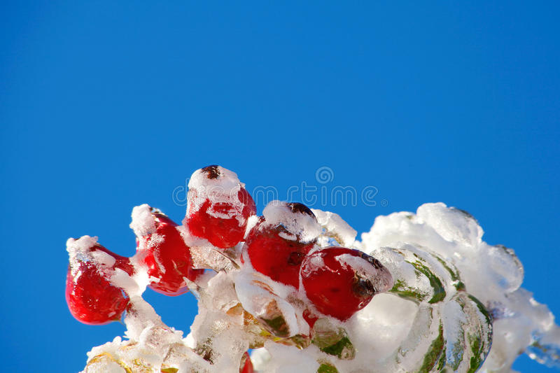 Download Icy rosehips stock photo. Image of frost, twig, season - 35026490