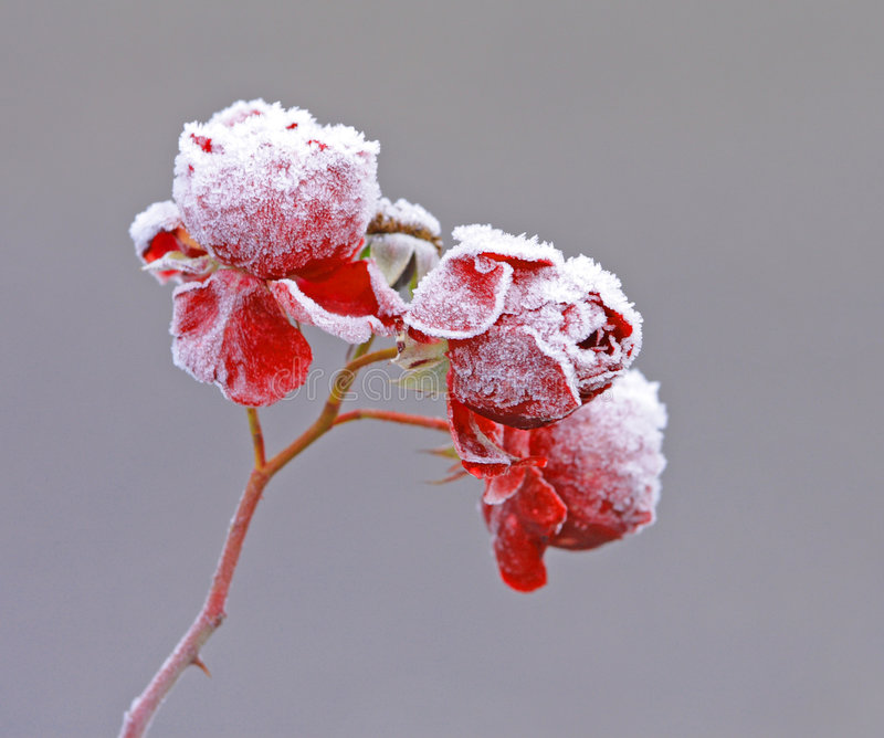 Icy roses stock image