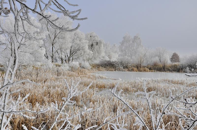 Icy swamp with reeds. And cattail in december royalty free stock photography