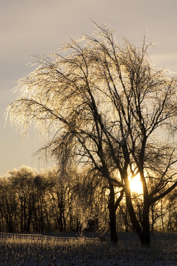 Icy Tree And Sunrise Stock Images