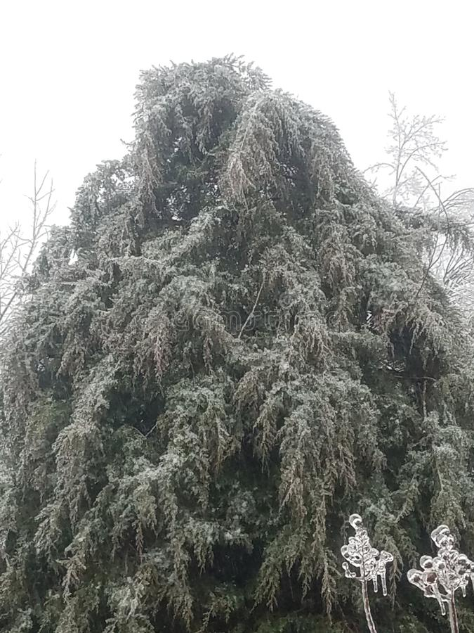 Icy willow tree royalty free stock photos