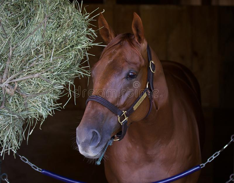 ID in her Stall. This talented chestnut filly, Irish Danzing, is by freshman sire Danza out of a winning Cactus Mare dam, Irish Ridge. Ears pointed forward, this royalty free stock photography