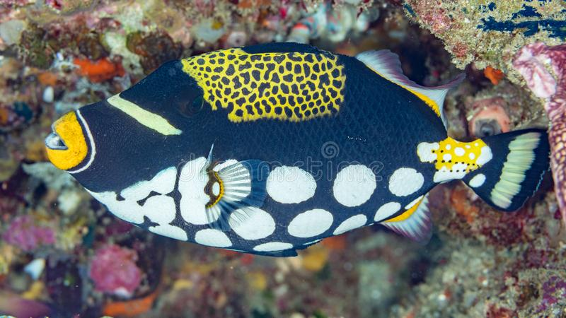 ID shot of a clown triggerfish royalty free stock photo