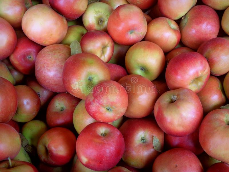 Ida Red Apples royalty free stock image