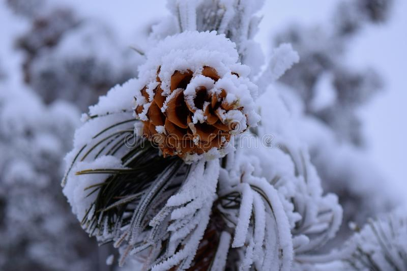 pine cone covered in snow stock images