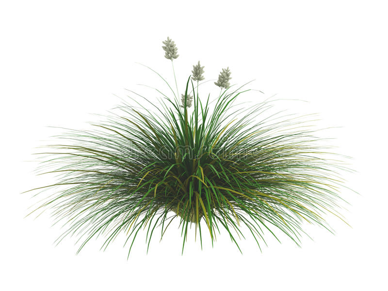 Idaho_fescue_(Festuca_idahoensis) royalty free illustration