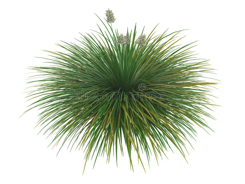 Idaho_fescue_(Festuca_idahoensis) stock illustration