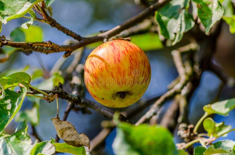Idared-Äpfel stockbild