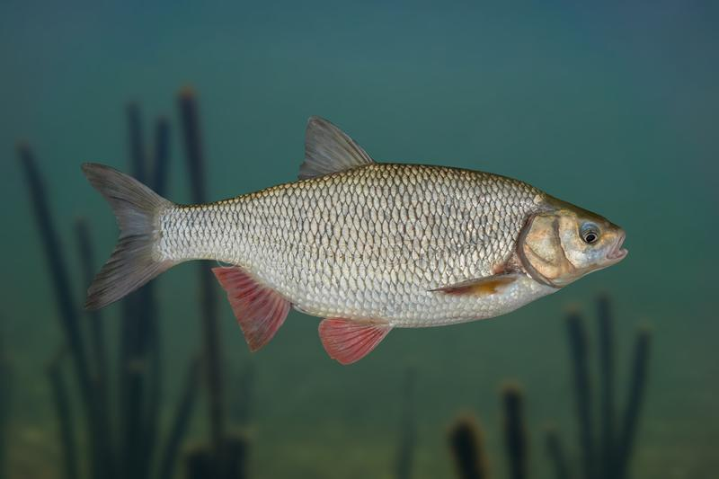 Ide fish isolated on natural underwater background.  stock photography