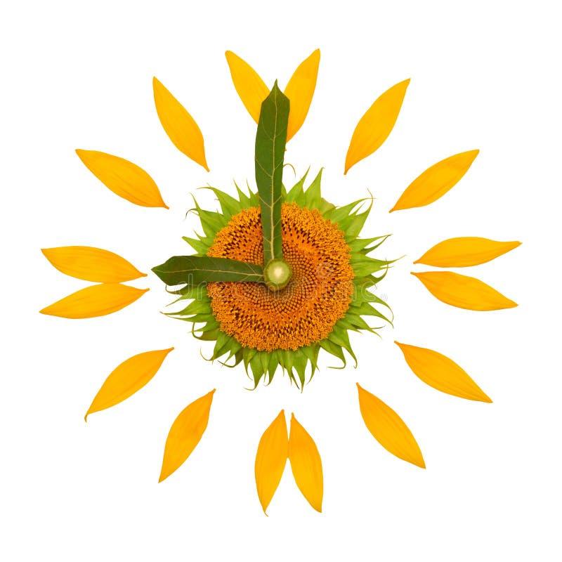 Idea creativa dell'orologio di eco dai petali del fiore del girasole isolati su fondo bianco 9 di mattina, affare di tempo Svegli immagini stock