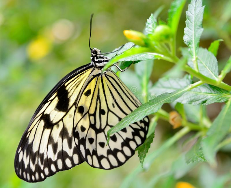 Idea Leuconoe Butterfly Stock Photo