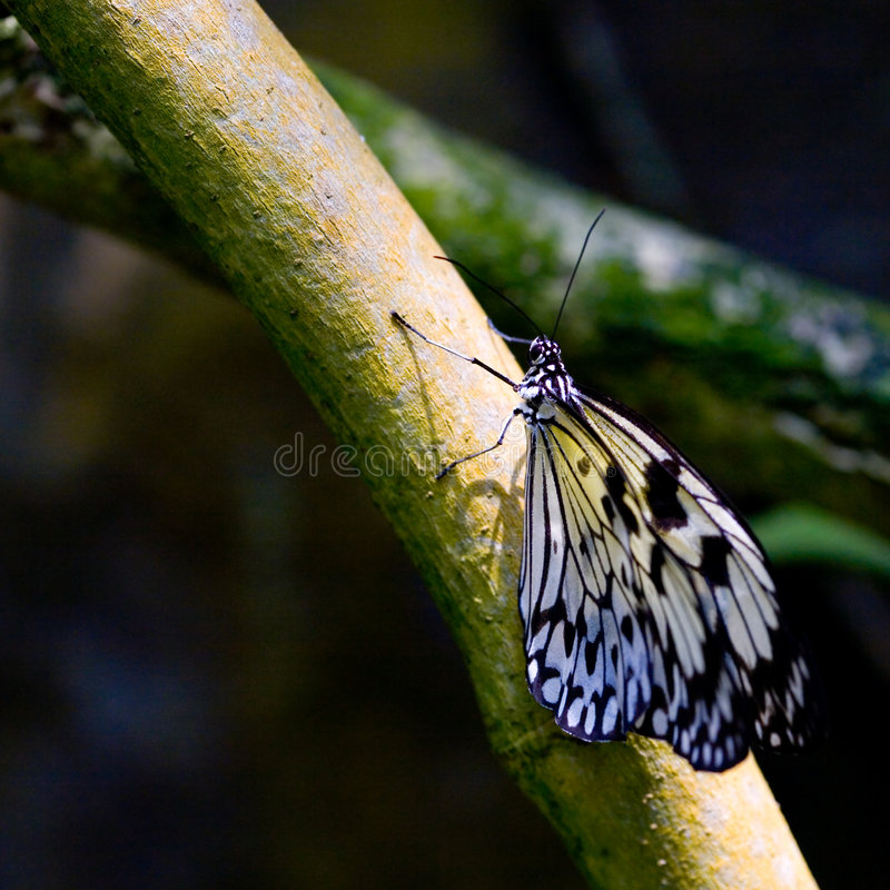 ''Idea leuconoe '' or commonly known as Paper Kite. Butterfly basking in the sun perched on a tree trunk royalty free stock photos