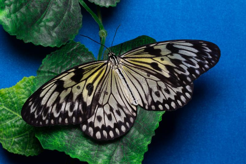 Idea leuconoe, Tree Nymph butterfly, Rice Paper butterfly stock photo