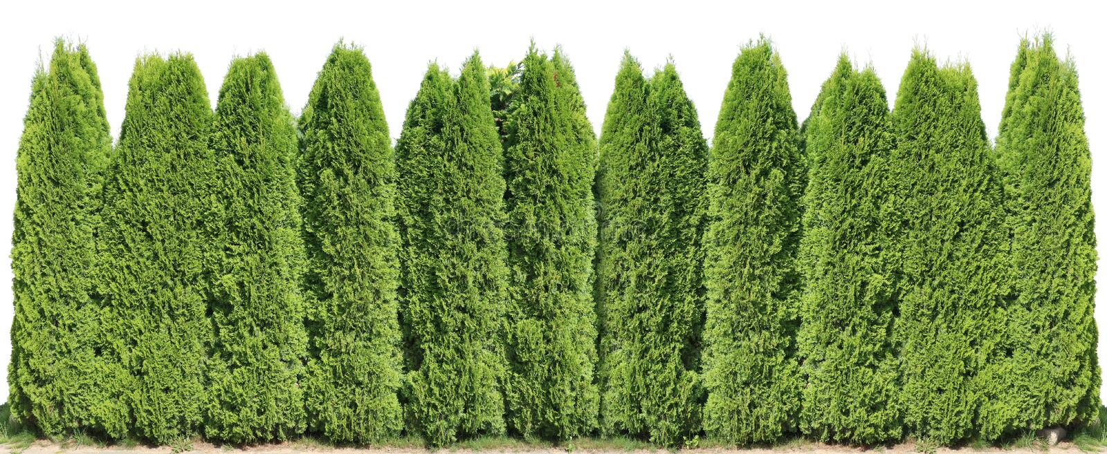 Ideal long and high green fence from evergreen coniferous trees near rural house isolated. Ideal long and high green fence from evergreen coniferous trees near stock photography