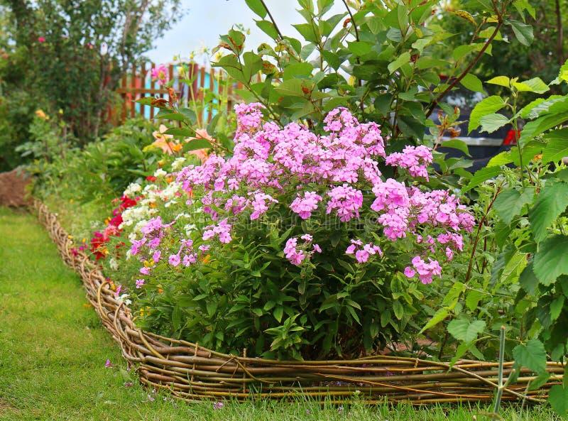 Ideas para el jardín - paniculata del polemonio en la floración imagen de archivo