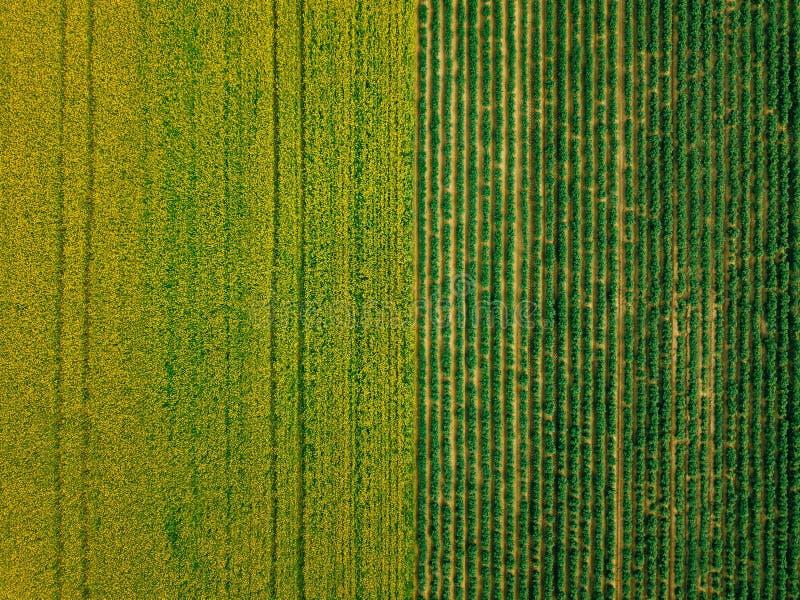 A ideia aérea das fileiras da batata e a colza colocam Campos agrícolas amarelos e verdes em Finlandia fotos de stock