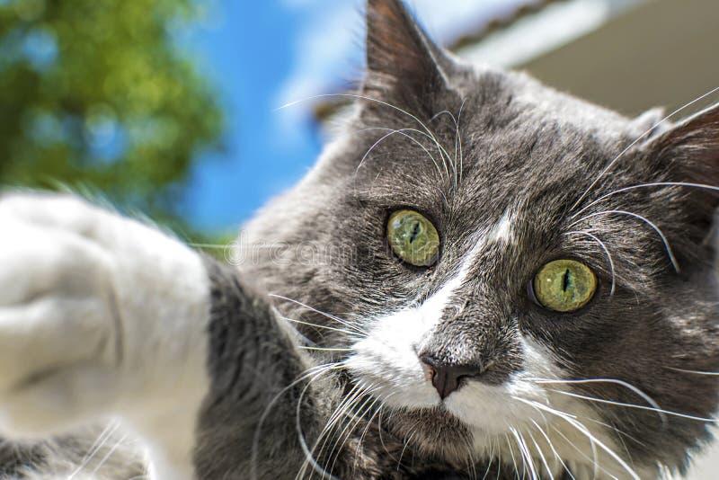 Ideia ascendente próxima do cat& verde bonito x27; olho de s Jogo cinzento e branco do gato exterior Pele textured bonita imagens de stock