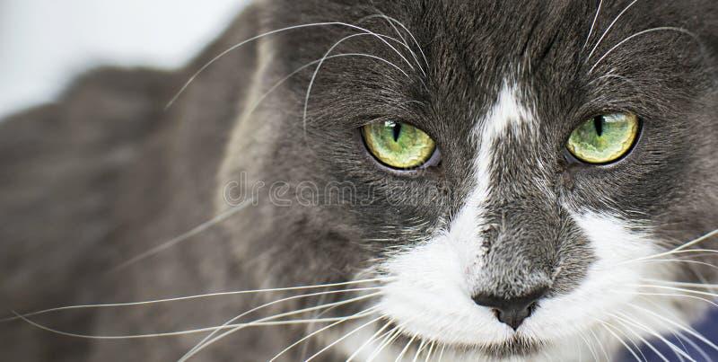 Ideia ascendente próxima do cat& verde bonito x27; olho de s que olha a câmera defiantly Gato irritado cinzento e branco no fundo imagem de stock royalty free