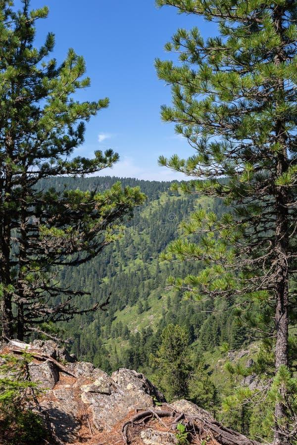 Ideia bonita dos picos de montanha da floresta Altai Krai do pinho imagem de stock