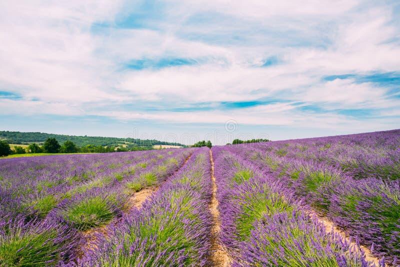 Ideia cênico do campo de flores roxo brilhante de florescência da alfazema em Provence, França imagens de stock