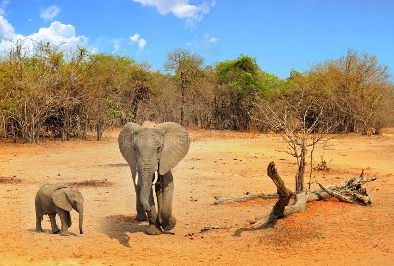 Ideia cênico dos elephats africanos de uma mãe e da vitela que estão no arbusto no parque nacional do luangwa sul, com um céu neb foto de stock