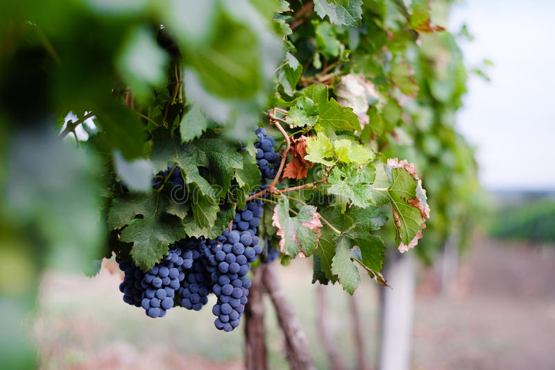 Ideia da fileira do vinhedo com grupos de uvas maduras do vinho tinto Repub imagens de stock
