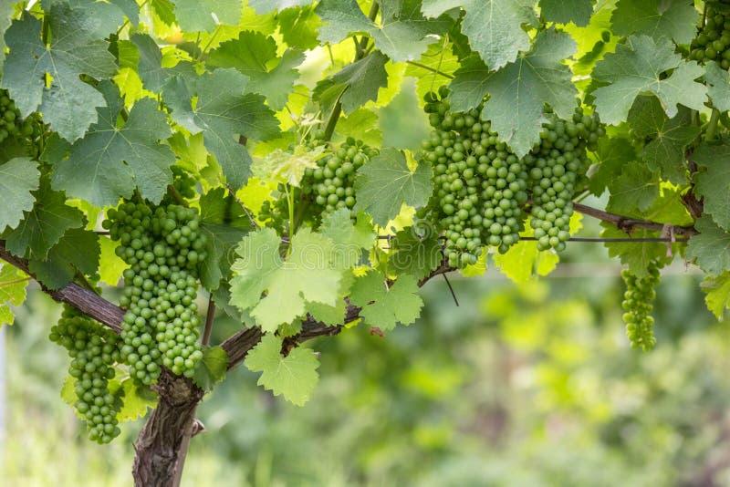 Ideia da fileira do vinhedo com grupos de uvas maduras do vinho tinto foto de stock royalty free