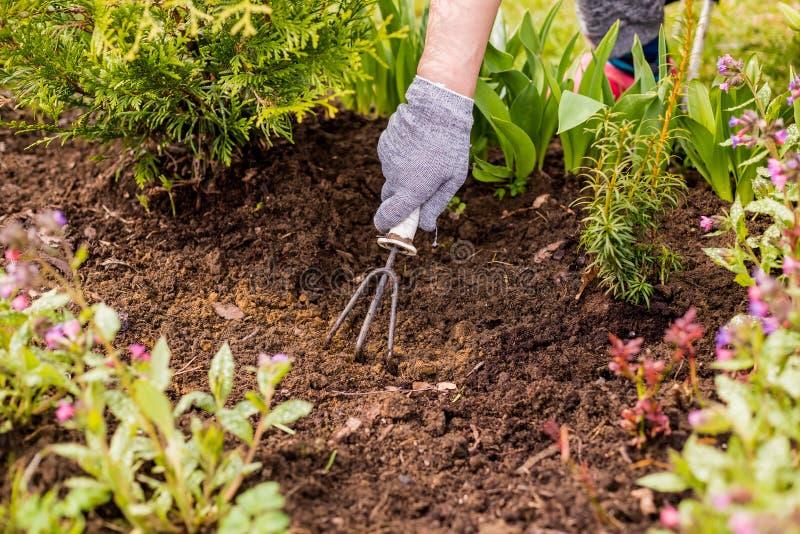 Ideia da m?o de uma mulher que capina ervas daninhas no jardim em um dia de ver?o quente, removendo ervas daninhas da grama, jard imagem de stock royalty free