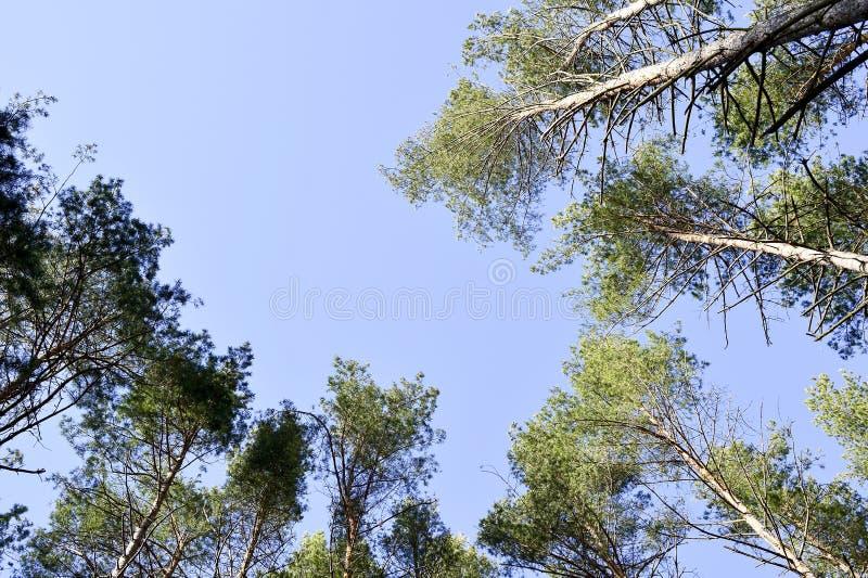 Ideia das partes superiores dos pinheiros em um dia ensolarado contra o céu claro azul Fundo Vista inferior fotos de stock