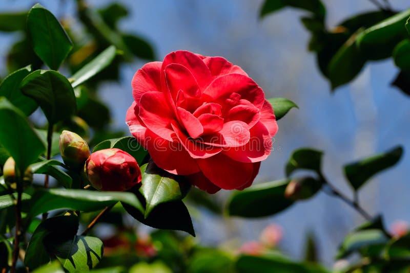 Ideia de florescer o ramo de ?rvore de Camellia Japonica no jardim do spirng imagem de stock