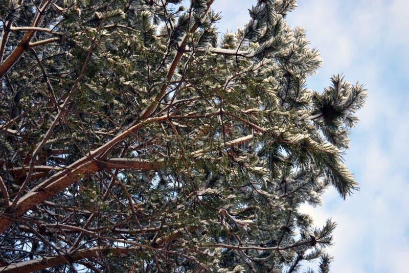 Ideia de ramos congelados cobertos de neve de um pinheiro na perspectiva do céu azul no lugar remoto fotos de stock royalty free