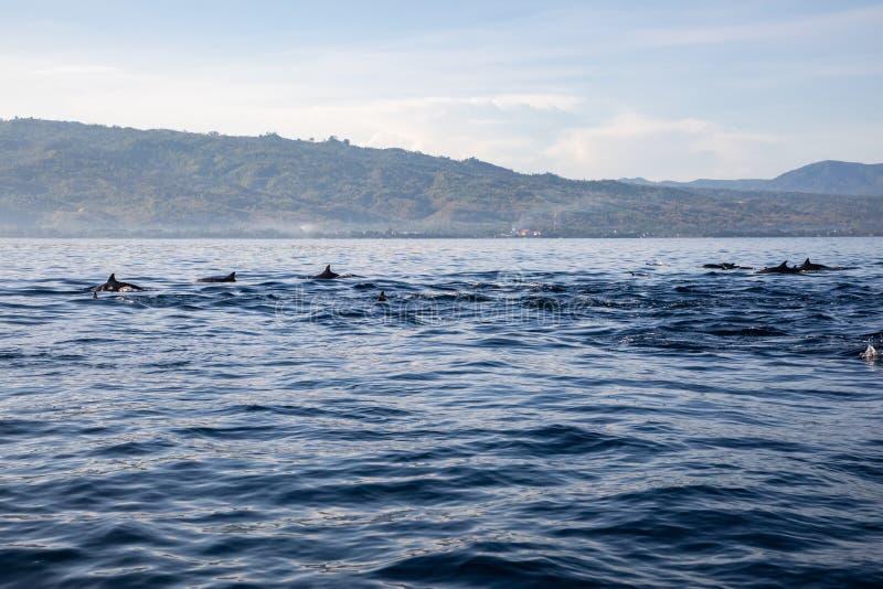 Ideia de um grupo de golfinhos selvagens que nadam na praia de Lovina, Bali fotos de stock royalty free