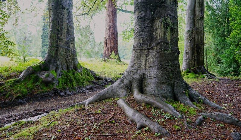 Ideia detalhada de raizes expostas da árvore de árvores muito velhas imagem de stock royalty free