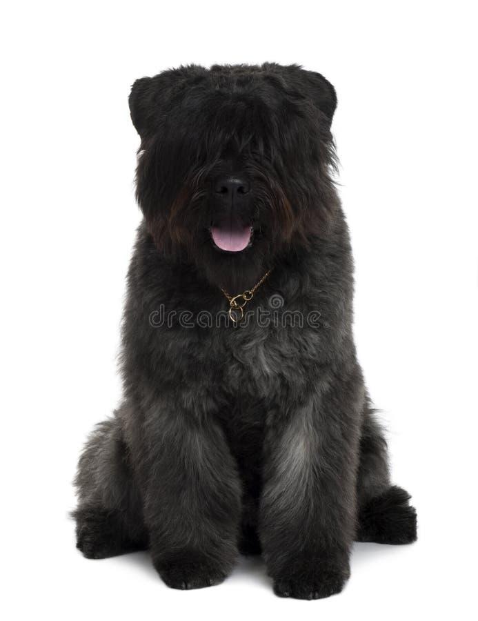 Ideia dianteira do assento do cão do DES de Bouvier Flandres fotografia de stock royalty free