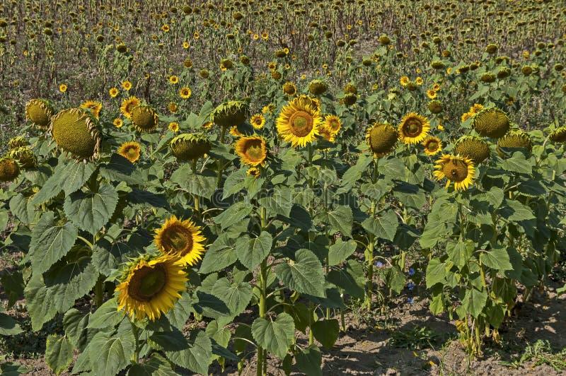 Ideia do campo do girassol com madureza diferente no outono, vila de Bailovo fotografia de stock royalty free