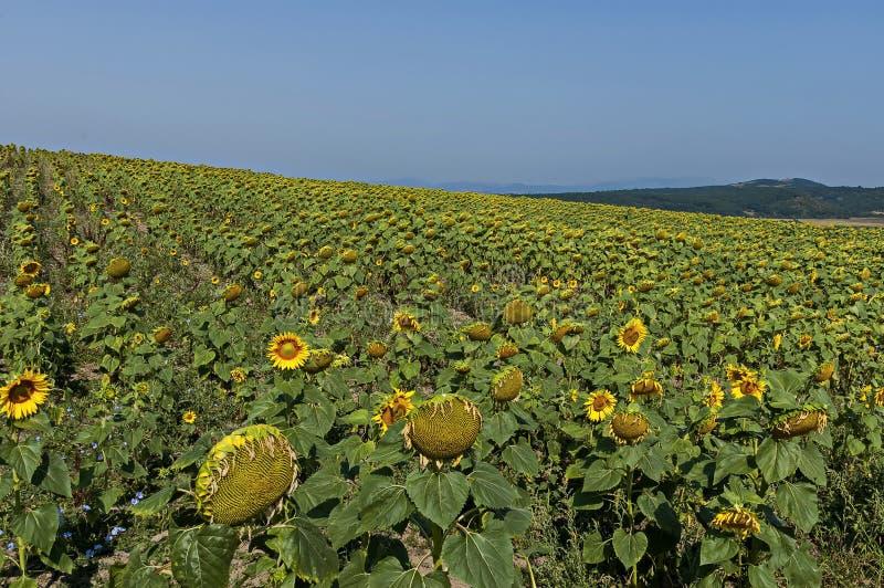 Ideia do campo do girassol com madureza diferente no outono, vila de Bailovo foto de stock