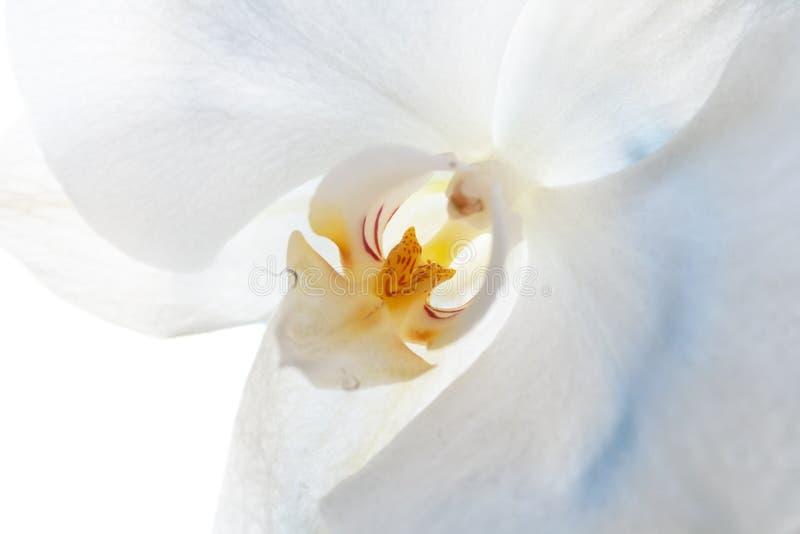 Ideia do close up de um phalaenopsis branco da orquídea com um meio amarelo com pontos vermelhos Foco seletivo foto de stock