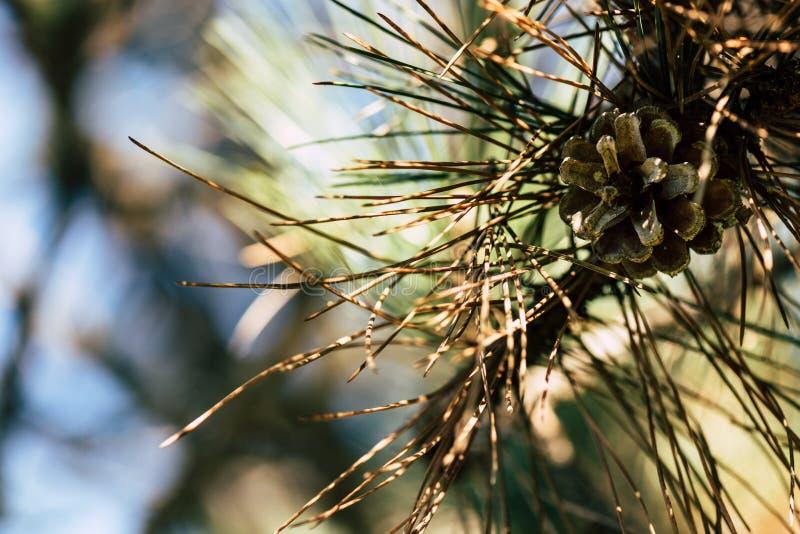 ideia do close-up do ramo de pinheiro bonito foto de stock royalty free