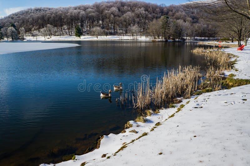 Ideia do inverno de um par de maiores gansos fronteados brancos fotografia de stock