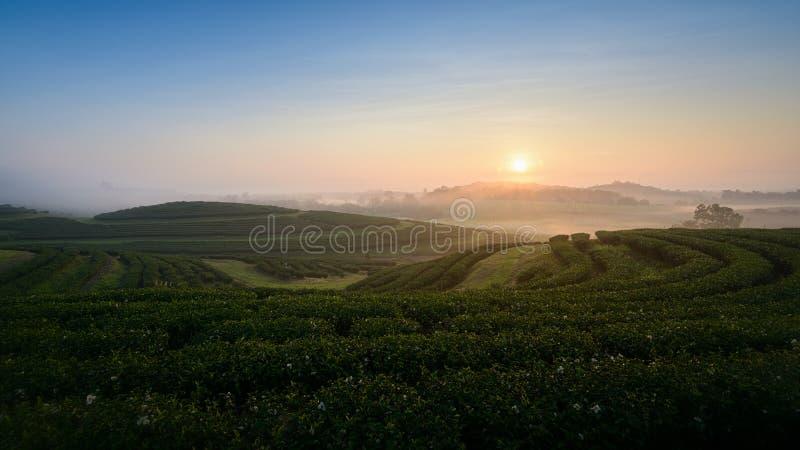 Ideia do nascer do sol sobre a plantação de chá em Chiangrai, Tailândia imagens de stock royalty free