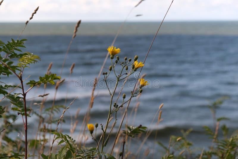 Ideia do seascape da tempestade Flores amarelas na onda do mar do fundo durante a tempestade no mar Báltico foto de stock